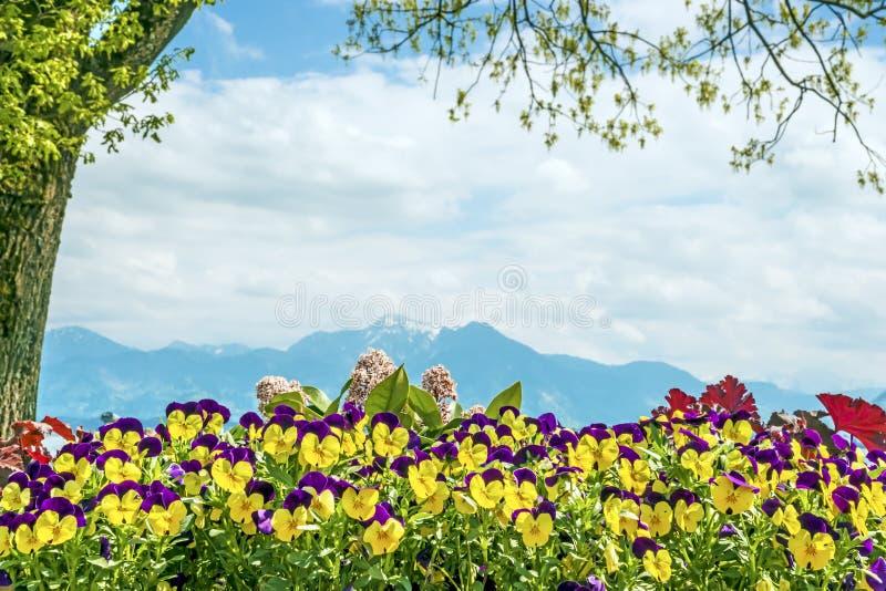Download Alpi Di Chiemsee Di Viole Del Pensiero Fotografia Stock - Immagine di pansy, rurale: 30827130