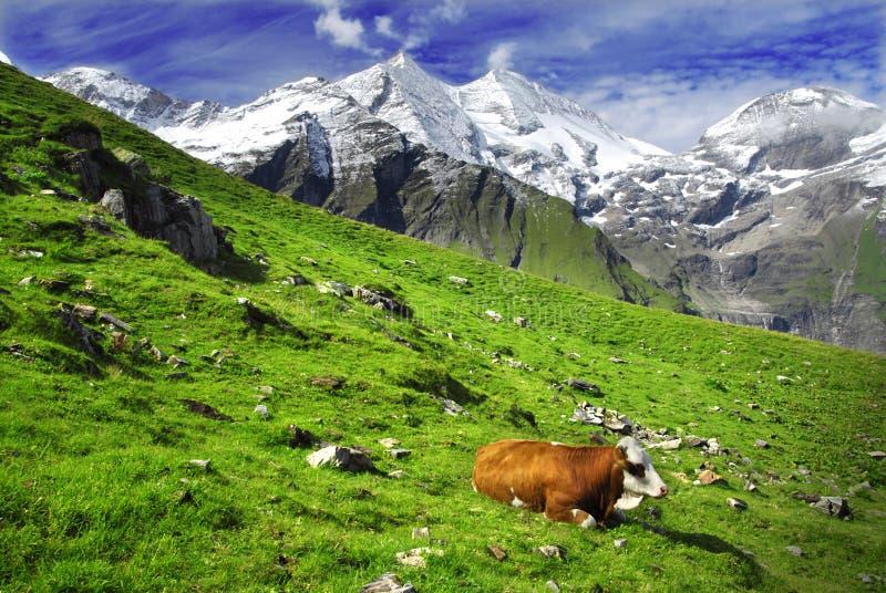 Alpi e mucche immagini stock