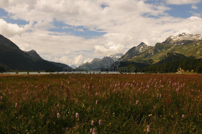Alpi svizzere: La flora intorno al ghiacciaio-lago Sils immagini stock