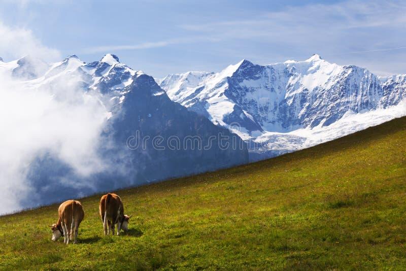 Alpi svizzere sopra i prati dello svizzero qui sotto fotografia stock libera da diritti