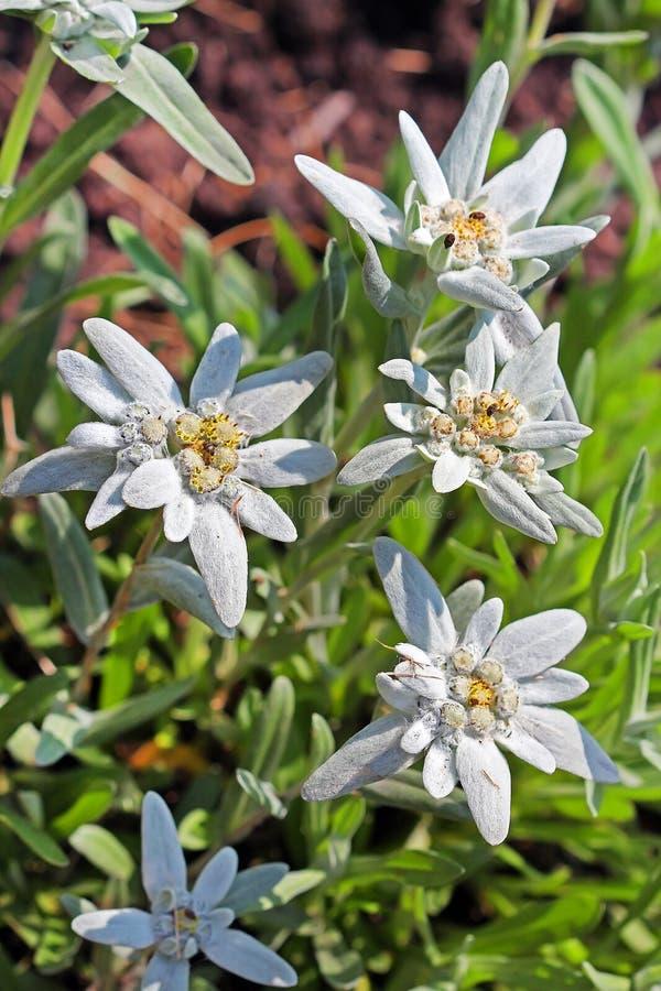 Alpien edelweiss, leontopodium (Leontopodium) stock foto