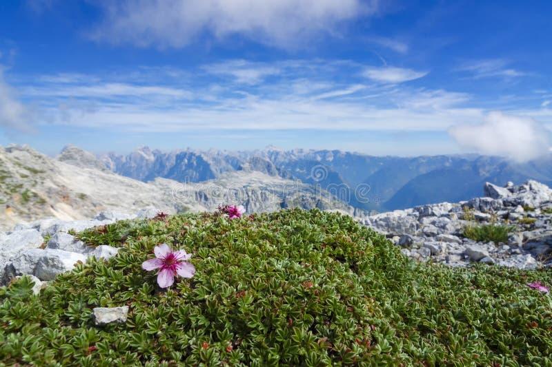 Alpien landschap met bloeiende bloemen tussen rotsen hoog bij royalty-vrije stock fotografie