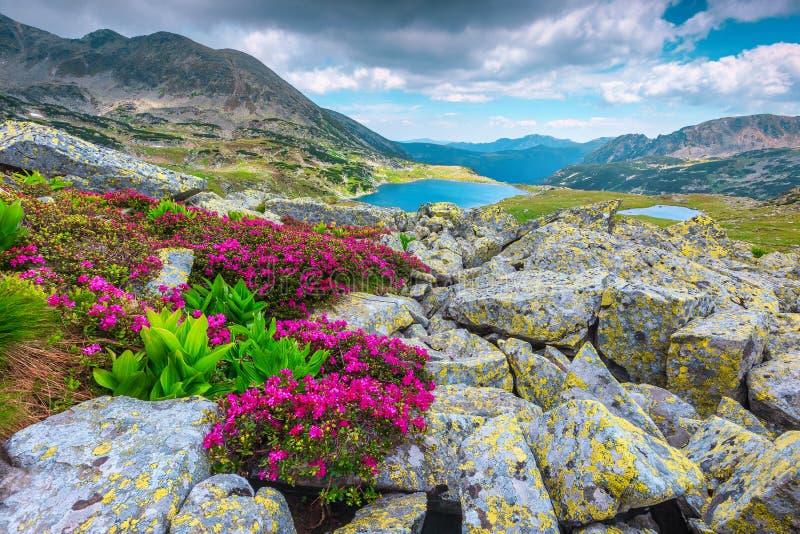 Alpien roze rododendronbloemen en Bucura-meer, Retezat-bergen, Roemenië royalty-vrije stock afbeelding