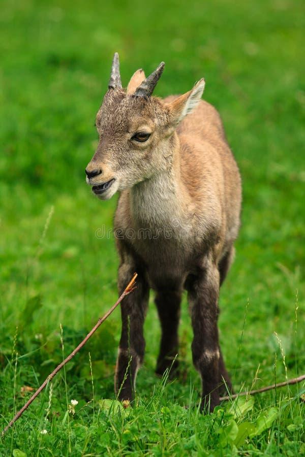 Alpien steenbokjong geitje stock fotografie