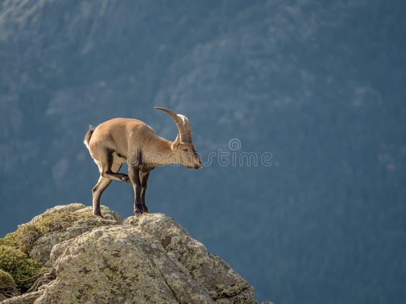 Alpien steenbokmannetje die krassen op de bovenkant van de berg royalty-vrije stock foto