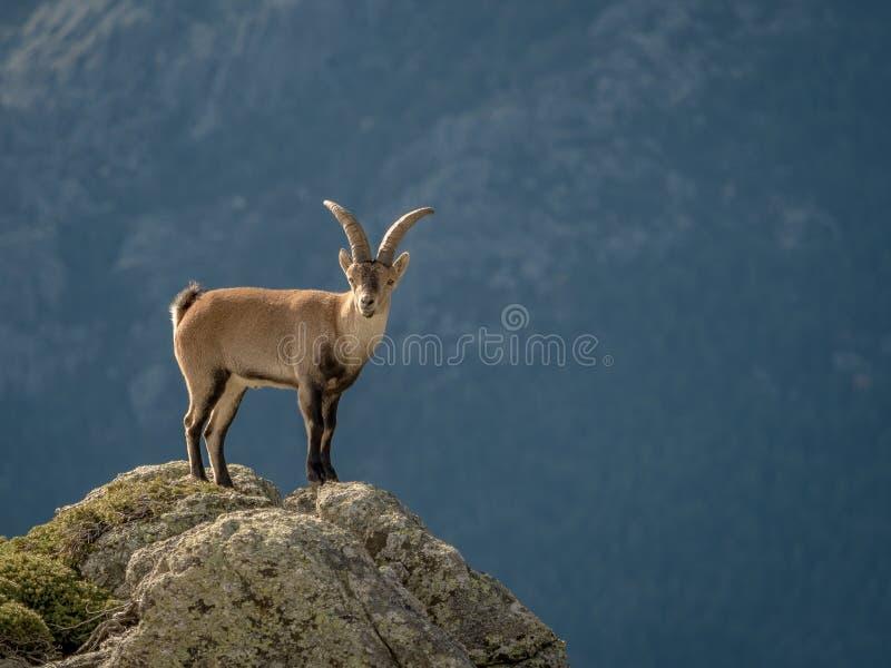 Alpien steenbokmannetje op de bovenkant van de berg stock foto's