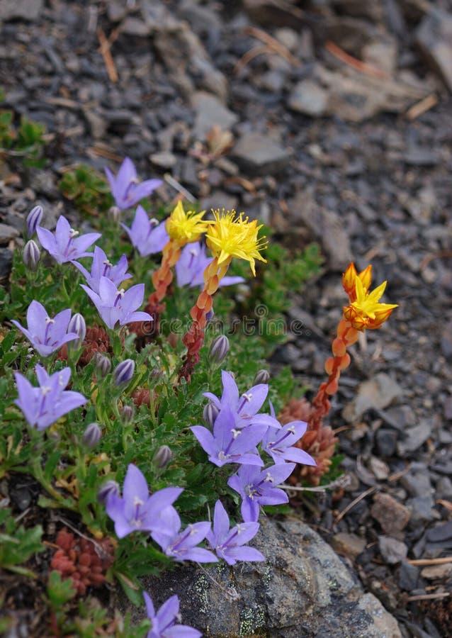 Alpiene bloemen stock foto's