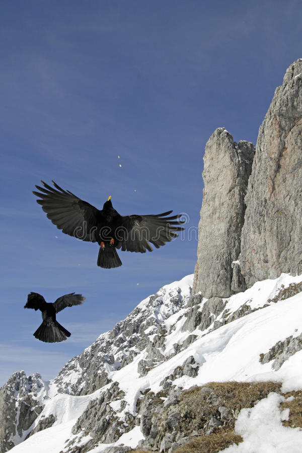 Alpiene Chough (graculus Pyrrhocorax) stock foto