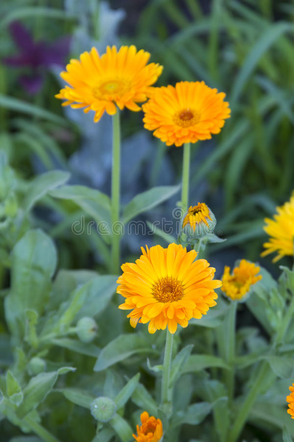 Alpiene dia, Gerbera-gele bloem royalty-vrije stock foto