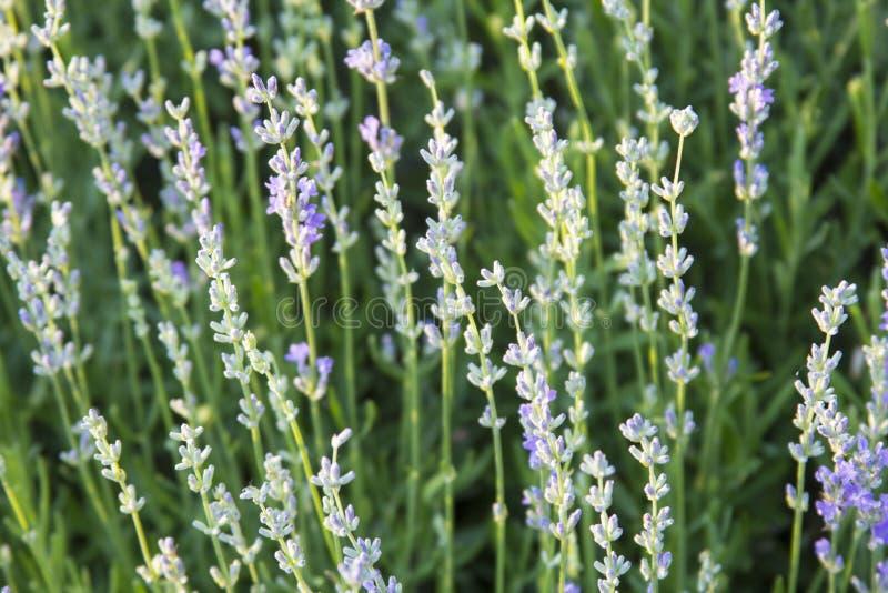 Alpiene dia, lavendelbloemen royalty-vrije stock afbeeldingen