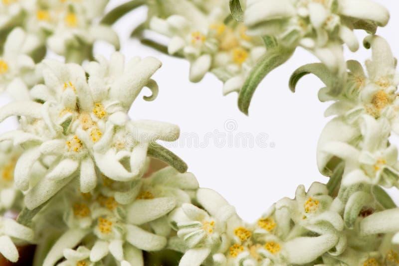 Alpiene edelweissbloem die een hart vormen stock afbeeldingen