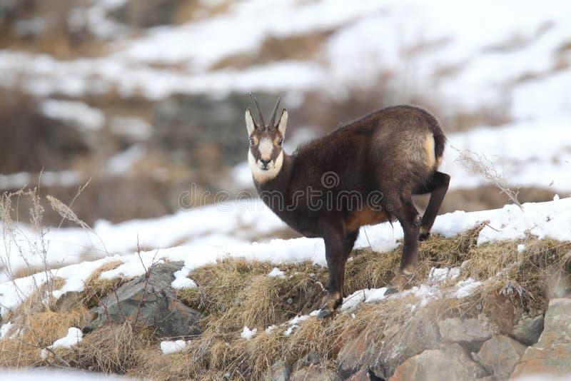 Alpiene gemzen royalty-vrije stock afbeelding