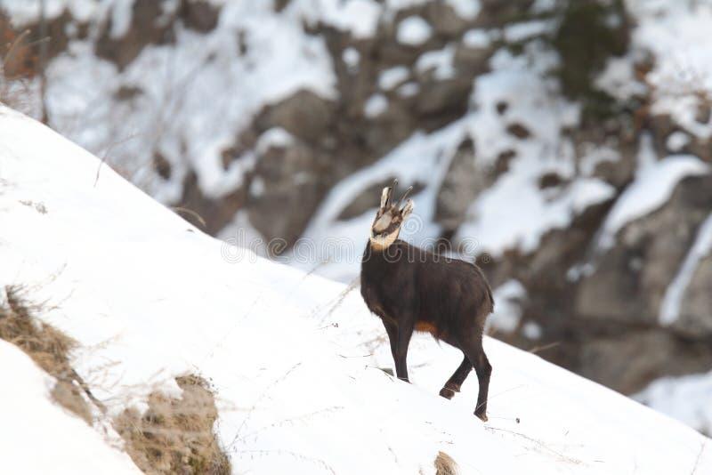 Alpiene gemzen royalty-vrije stock fotografie