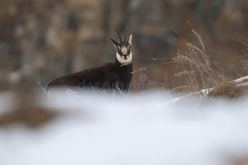 Alpiene gemzen royalty-vrije stock foto's