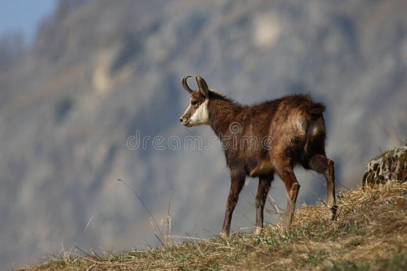 Alpiene gemzen stock afbeelding