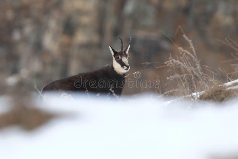 Alpiene gemzen royalty-vrije stock foto