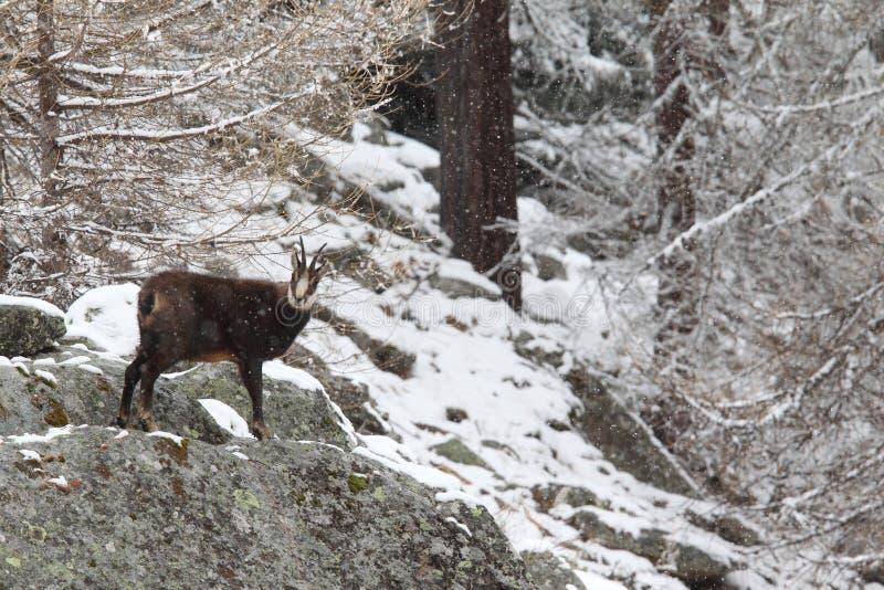 Alpiene gemzen stock afbeeldingen