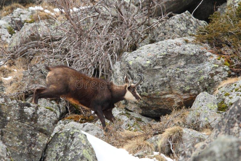 Alpiene gemzen stock foto's