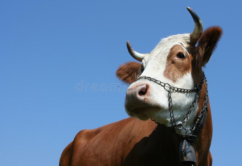 Alpiene koe stock afbeelding