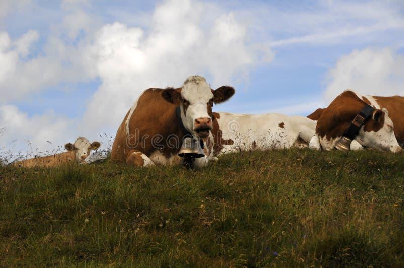 Alpiene koeien stock afbeelding