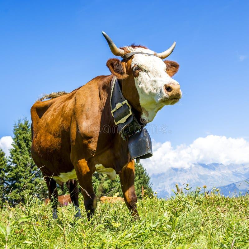 Alpiene koeien royalty-vrije stock afbeelding
