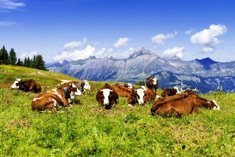 Alpiene koeien stock fotografie