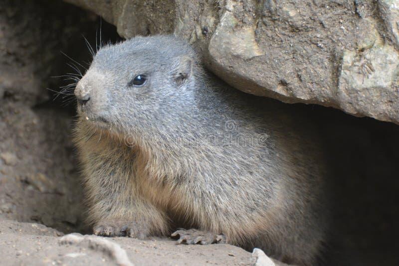Alpiene marmot royalty-vrije stock afbeeldingen