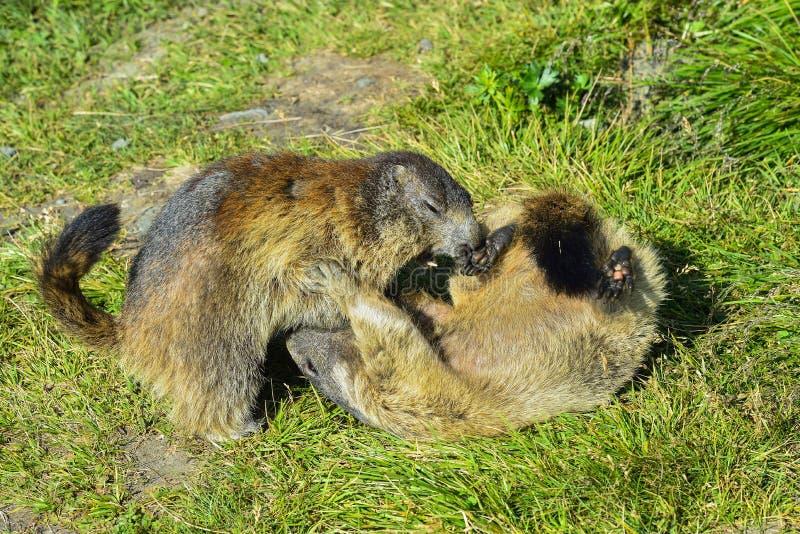 Alpiene marmot stock afbeeldingen
