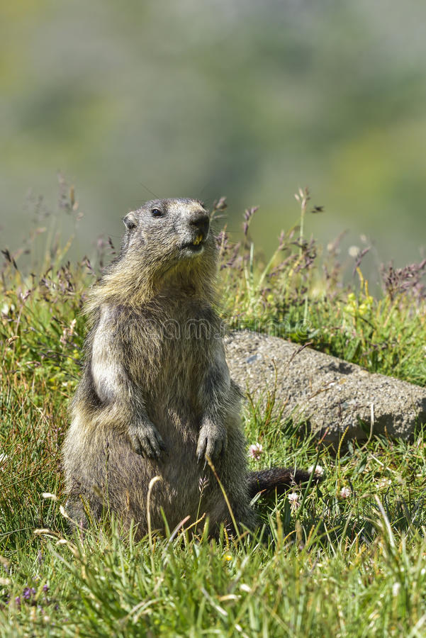 Alpiene marmot royalty-vrije stock afbeelding