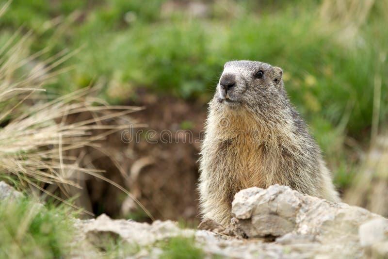Alpiene Marmot - Marmota Marmota royalty-vrije stock foto