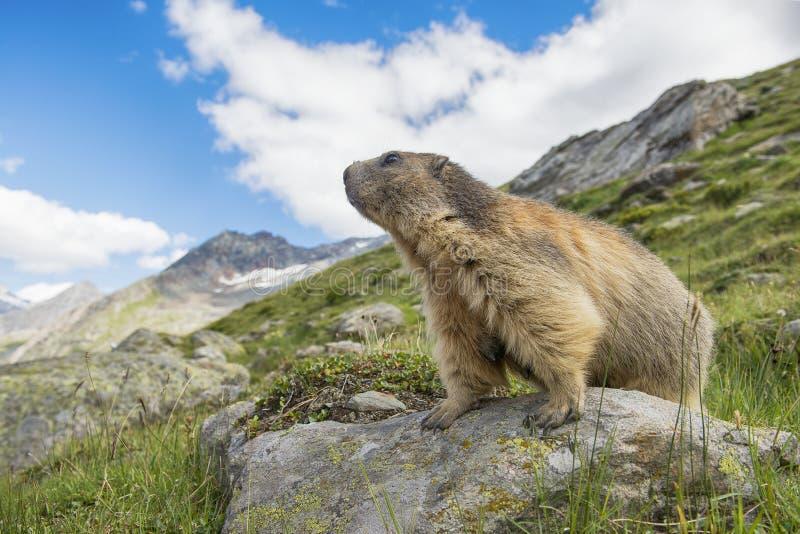 Alpiene marmot op de blik die op een steen duidelijk uitkomen die over de bergen kijken royalty-vrije stock afbeelding