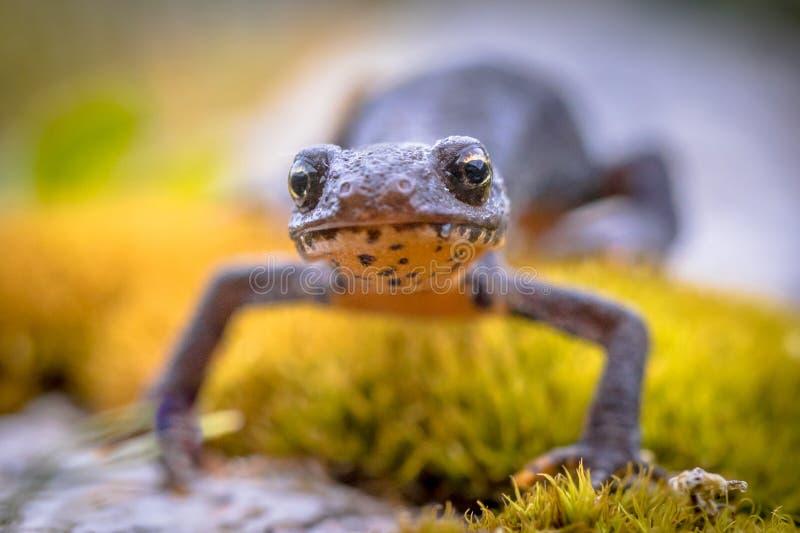 Alpiene newt frontaal op mos royalty-vrije stock foto's