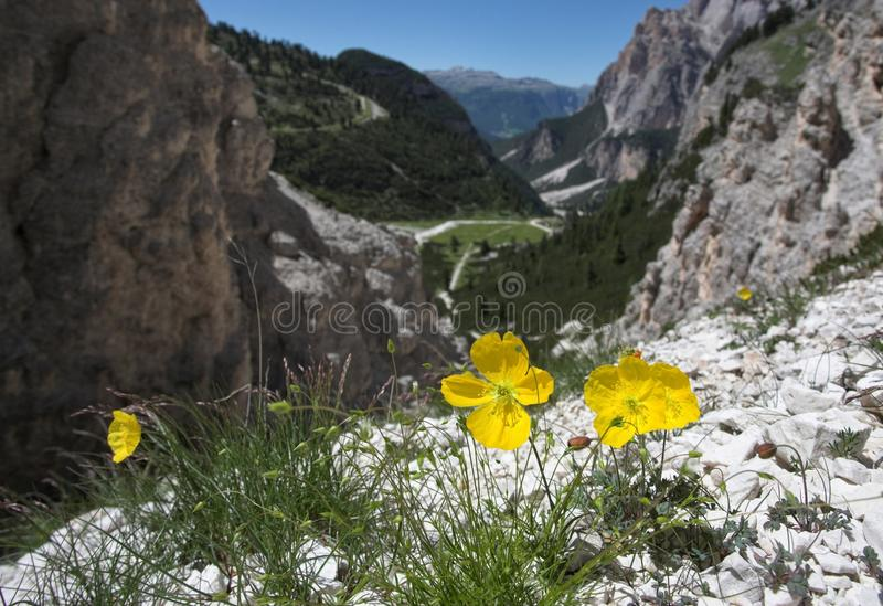 Alpiene Papaver - Italiaans Dolomiet royalty-vrije stock fotografie