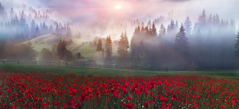 Alpiene papavers in de Karpaten royalty-vrije stock foto's