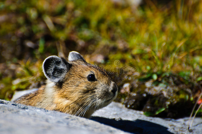 Alpiene Pika royalty-vrije stock foto