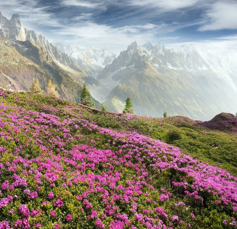 Alpiene rododendrons op de berggebieden van Chamonix stock foto