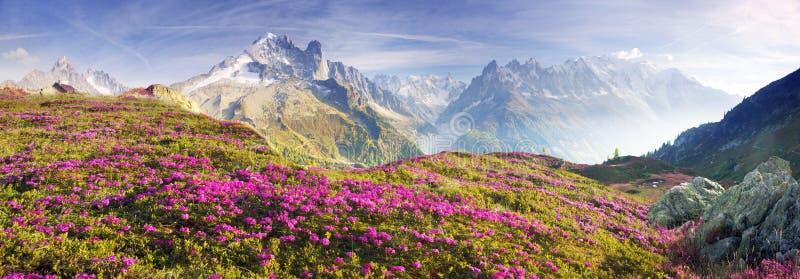 Alpiene rododendrons op de berggebieden van Chamonix royalty-vrije stock foto's