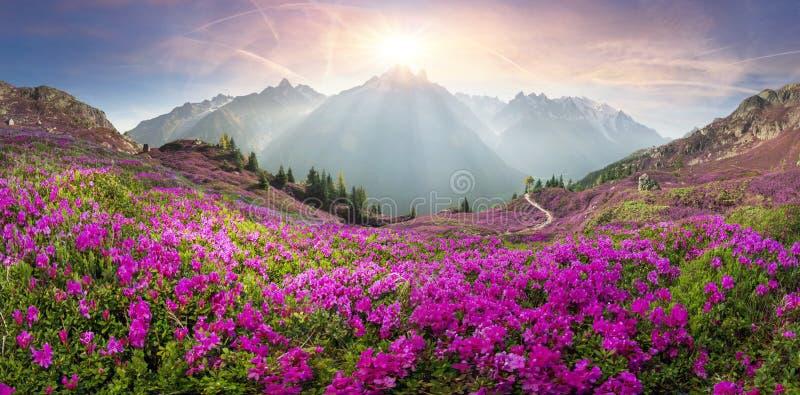 Alpiene rododendrons op de berggebieden van Chamonix royalty-vrije stock afbeeldingen