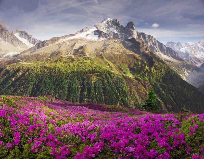 Alpiene rododendrons op de berggebieden van Chamonix stock foto's