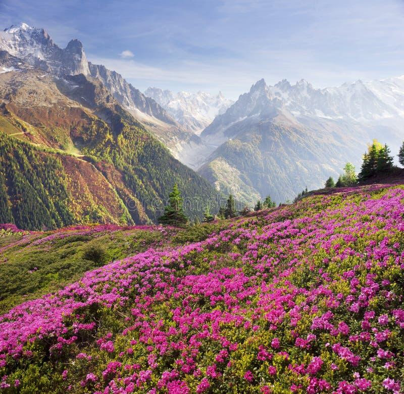 Alpiene rododendrons op de berggebieden van Chamonix stock afbeeldingen