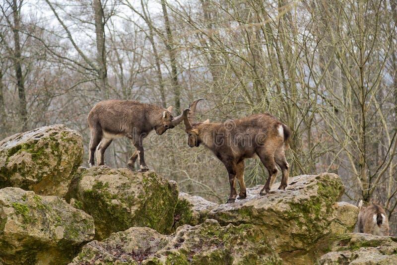 Alpiene steenbok royalty-vrije stock fotografie