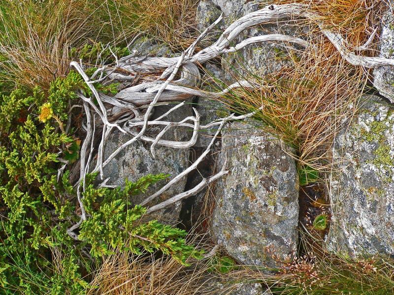 Alpiene van de achtergrond bergvegetatie dichte omhooggaande installatiepinus mugotexturen en gras royalty-vrije stock afbeelding