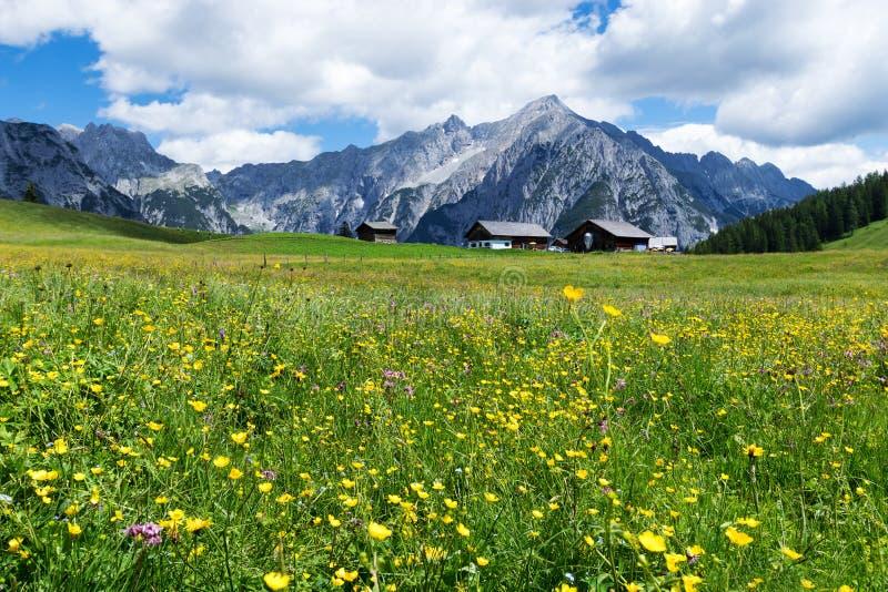 Alpiene weide met mooie gele bloemen dichtbij Walderalm Oostenrijk, Tirol stock fotografie