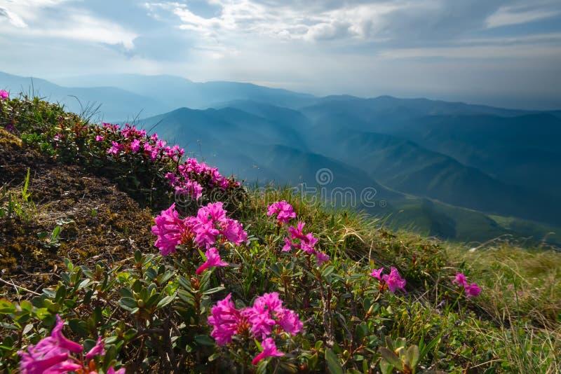Alpiene weiden met bloeiende rododendrons en bergen op de achtergrond De de lentezomer is de periode van het bloeien van helder stock afbeeldingen