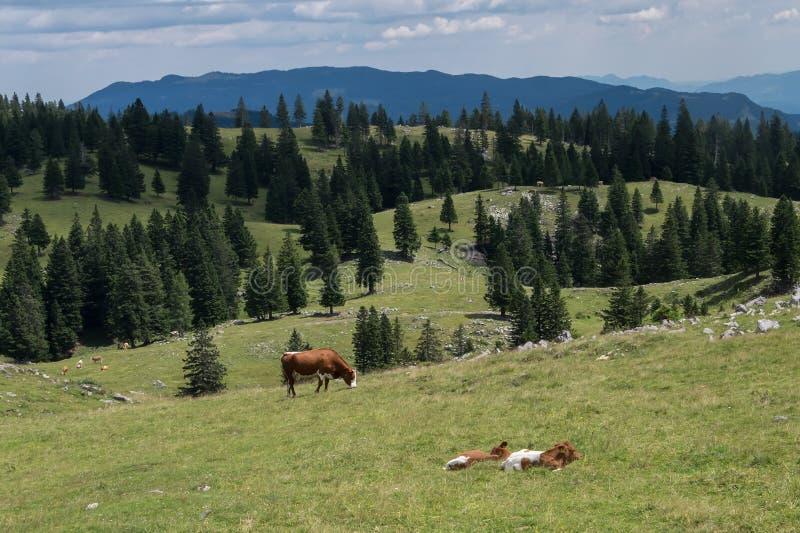 Alpiene weilanden in Slovenië in de zomer De koeien weiden en ontspannen onder de bergen stock afbeeldingen