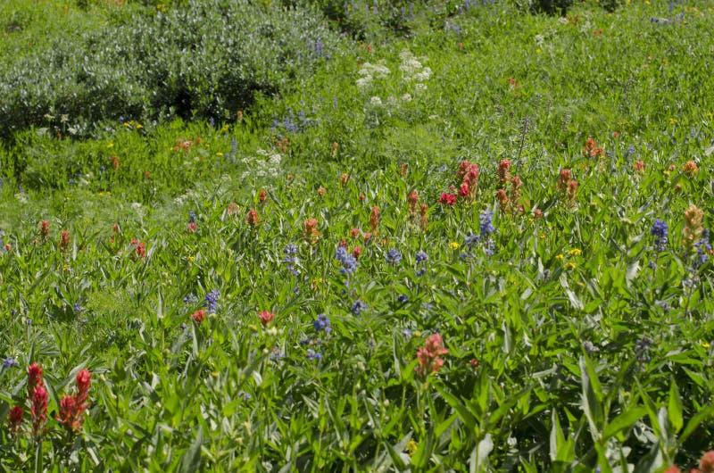 Alpiene Wildflowers royalty-vrije stock foto's