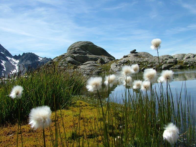 alpin λουλούδια στοκ φωτογραφίες