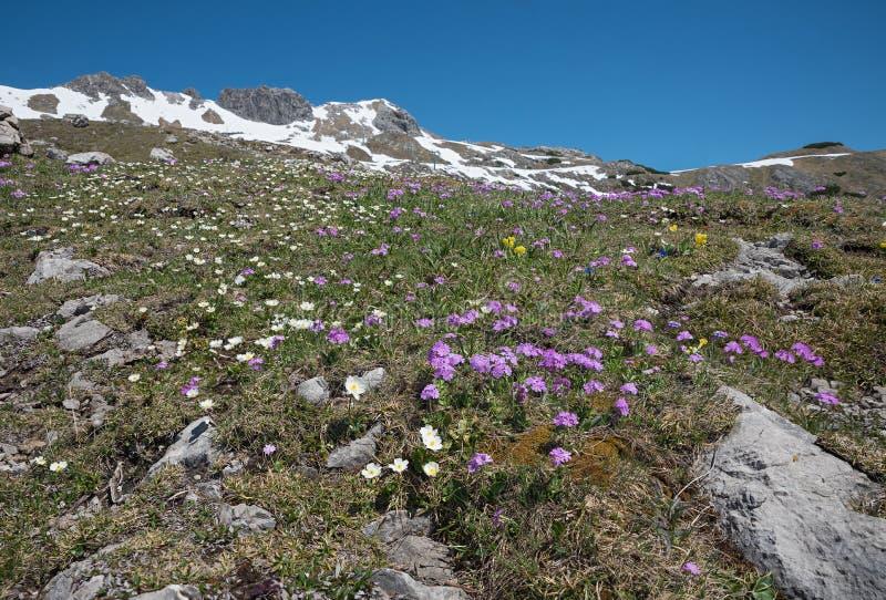 Alpin flora på bergöverkantnebelhorn, rosa primula och ranunkel fotografering för bildbyråer