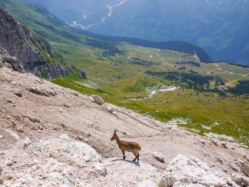Alpin stenbock royaltyfria bilder