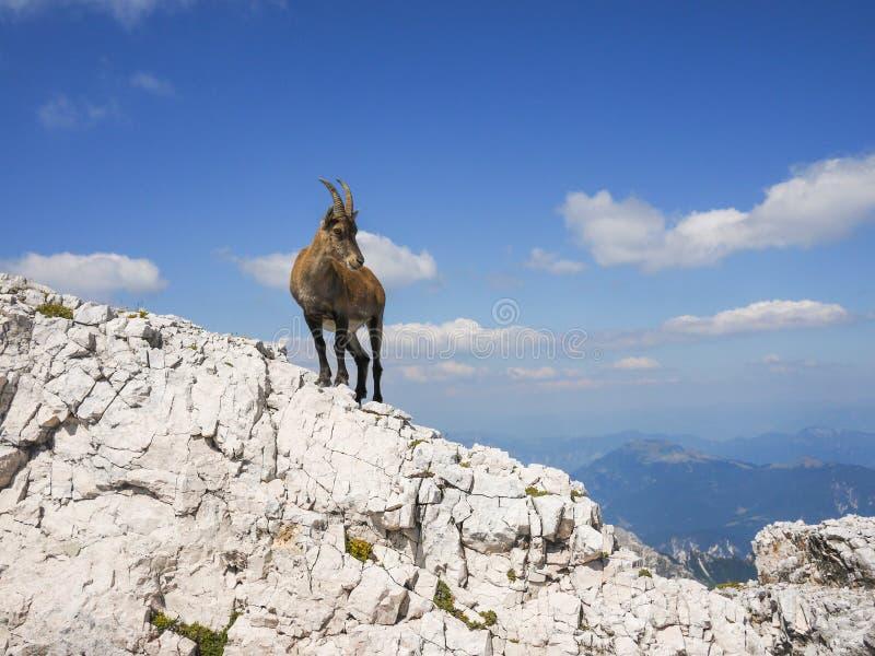 Alpin stenbock fotografering för bildbyråer
